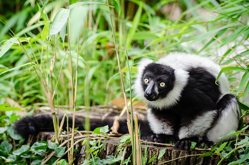Black-and-white Ruffed Lemur | by Mathias Appel