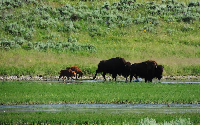 Baby Animals: Bisons in Yellowstone National Park