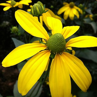 Rudbeckia intifada 'Herbstone' in the Flagler Garden. #bloomingnow #lewisginter #flowers | by lewis.ginter