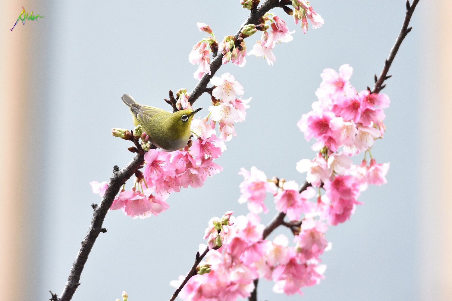 Sakura_White-eye_8015