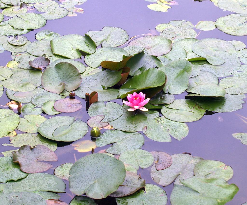 Lotus flower lotus flower at the chinese gardens kpp1221 flickr lotus flower by kpp1221 lotus flower by kpp1221 izmirmasajfo