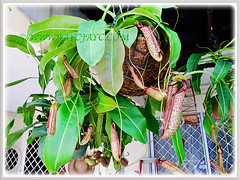 Nepenthes x hookeriana (Hooker's Pitcher-Plant, Tropical Pitcher Plant, Monkey Cup) in a hanging basket, 9 Nov 2011