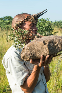 Kalahari Water Tuber (Raphionacme burkei, Sukkulentenart mit wasserhaltige Knollenwurzel)