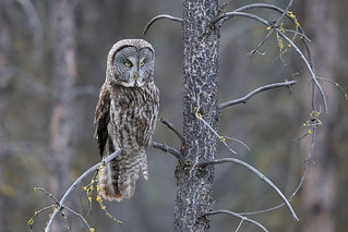 Great Gray Owl | by Gregory Lis