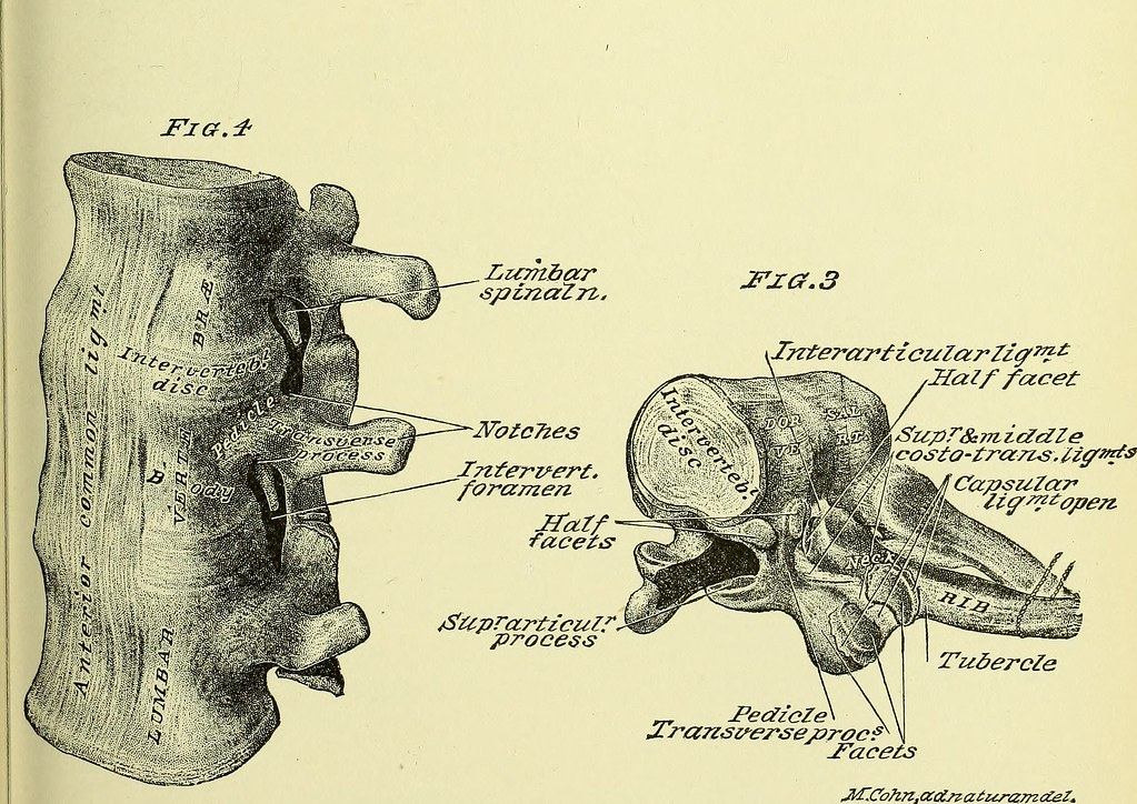 Image From Page 620 Of Practical Human Anatomy Electroni Flickr