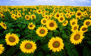 Sunflowers | by Oregon State University