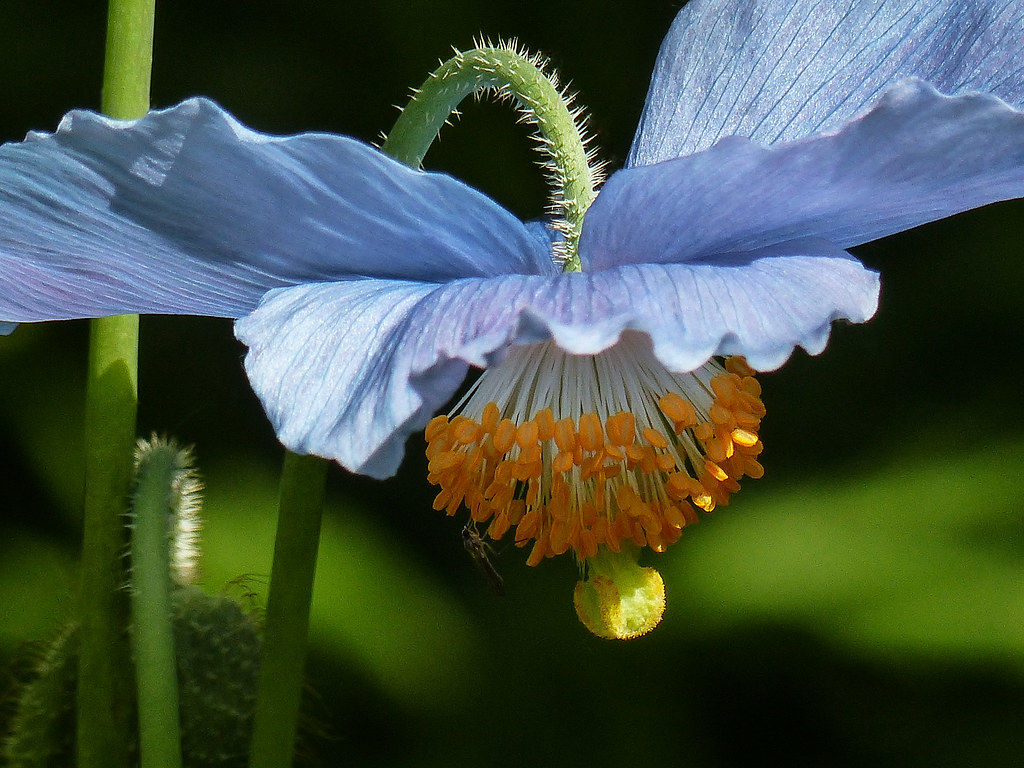 Himalayan Blue Poppy It Is Always A Joy To See These Himal Flickr