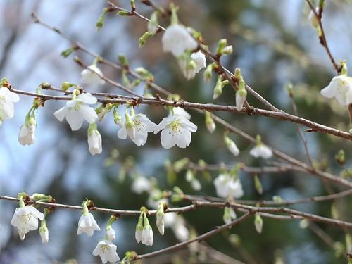 りょくがく桜(みどり桜)