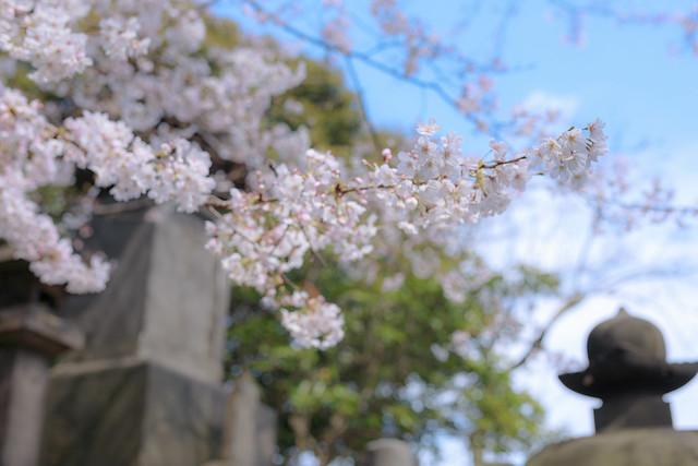 上野公園の桜 2017