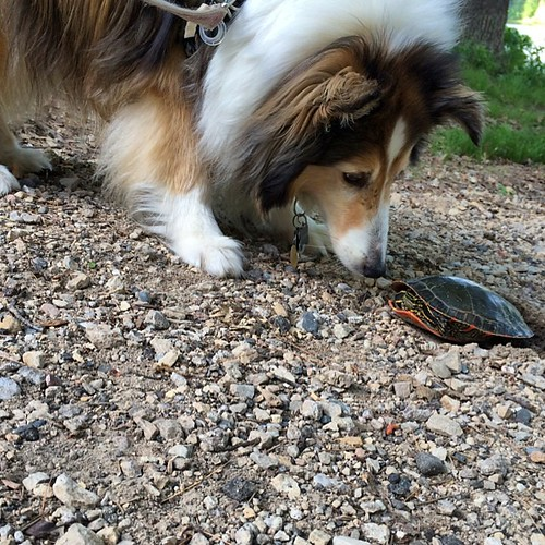 Hello turtle! #nature #sheltie #turtle