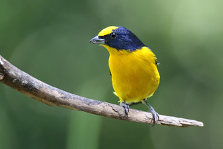 Thick-billed Euphonia | by brick911