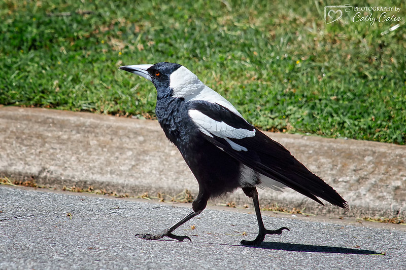 Marching Magpie