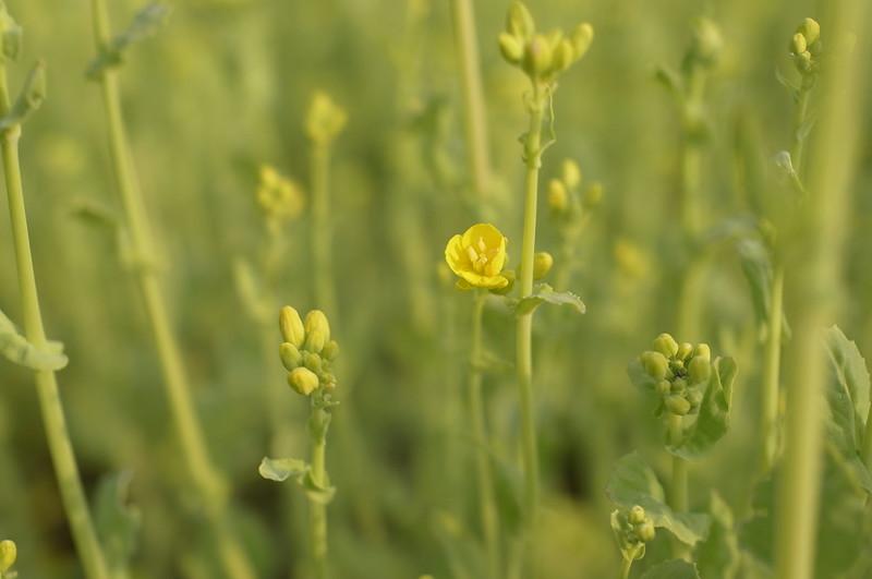 遅咲きの菜の花