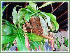 Healthy Nepenthes x hookeriana (Hooker's Pitcher-Plant, Tropical Pitcher Plant, Monkey Cup) in a hanging basket, 9 Nov 2011