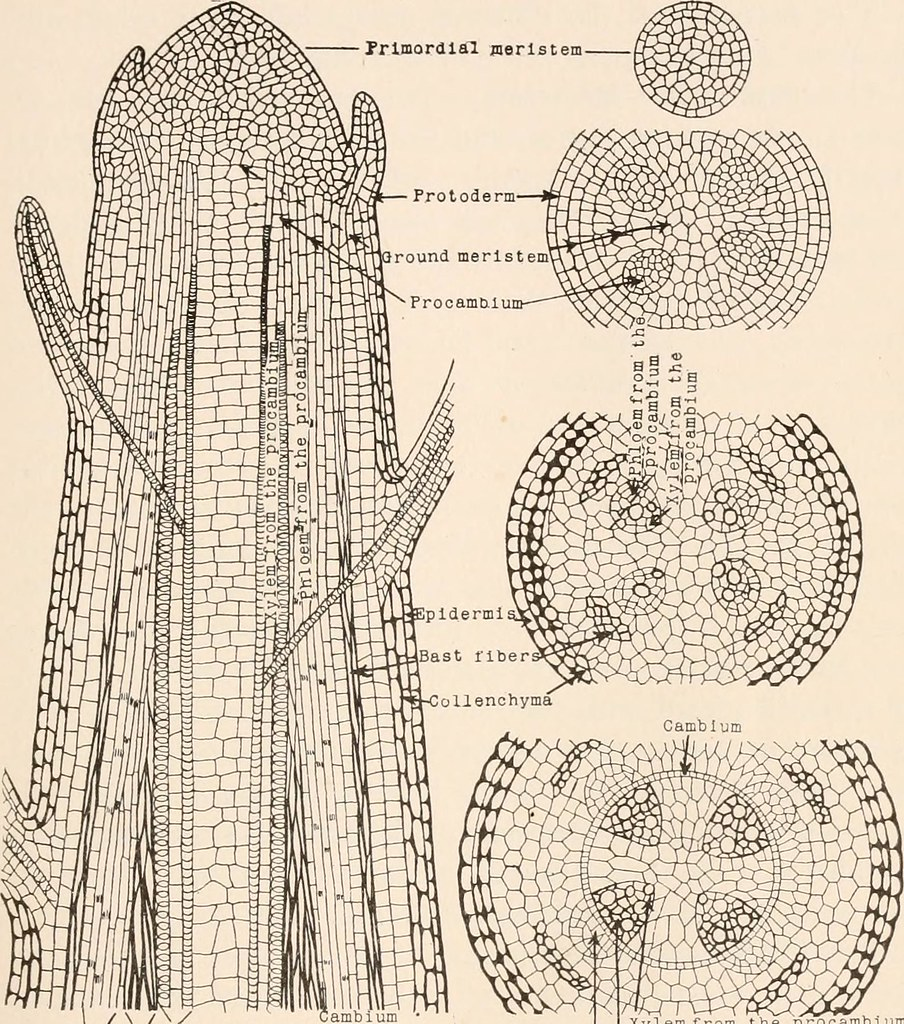 Image From Page 44 Of Plant Anatomy From The Standpoint O Flickr