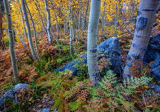 Bishop Creek Autumn Aspen Trees Ferns Eastern Sierra | by Steve Sieren Photography