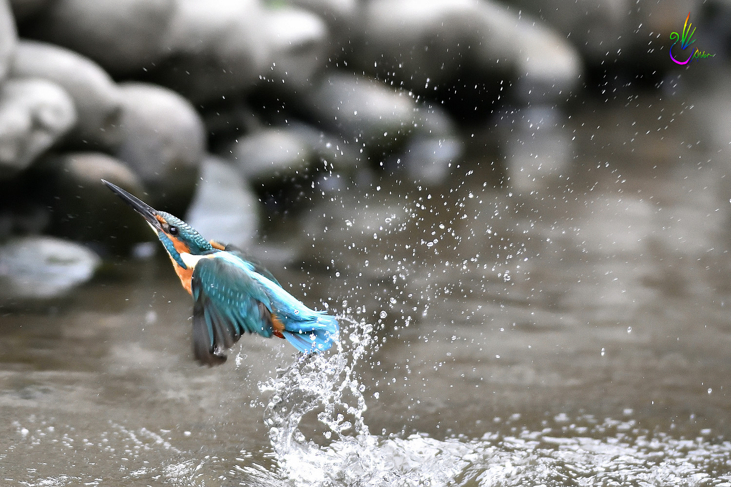 Common_Kingfisher_0982