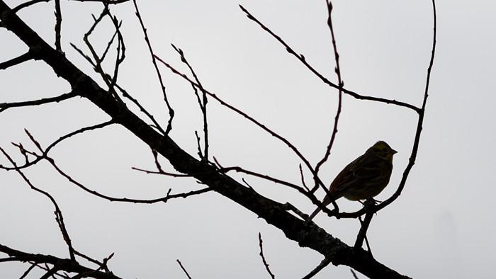 siluetti musta lintu pikkulintu oksalla