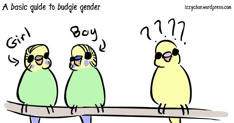 girl boy budgie nose colors