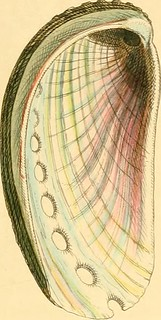 "Image from page 92 of ""Conchologia systematica, or Complete system of conchology: in which the Lepades and conchiferous Mollusca are described and classified according to their natural organization and habits"" (1841) 