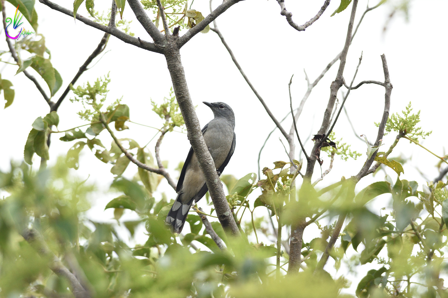 Black-winged_Cuckoo-shrike_8911