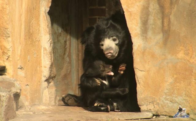 Lippenbär Nachwuchs 31.03.2017 im Zoo Berlin 070
