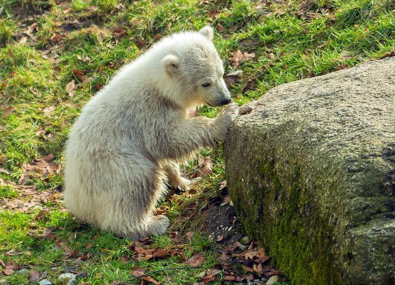 Eisbär Giovana hat Nachwuchs