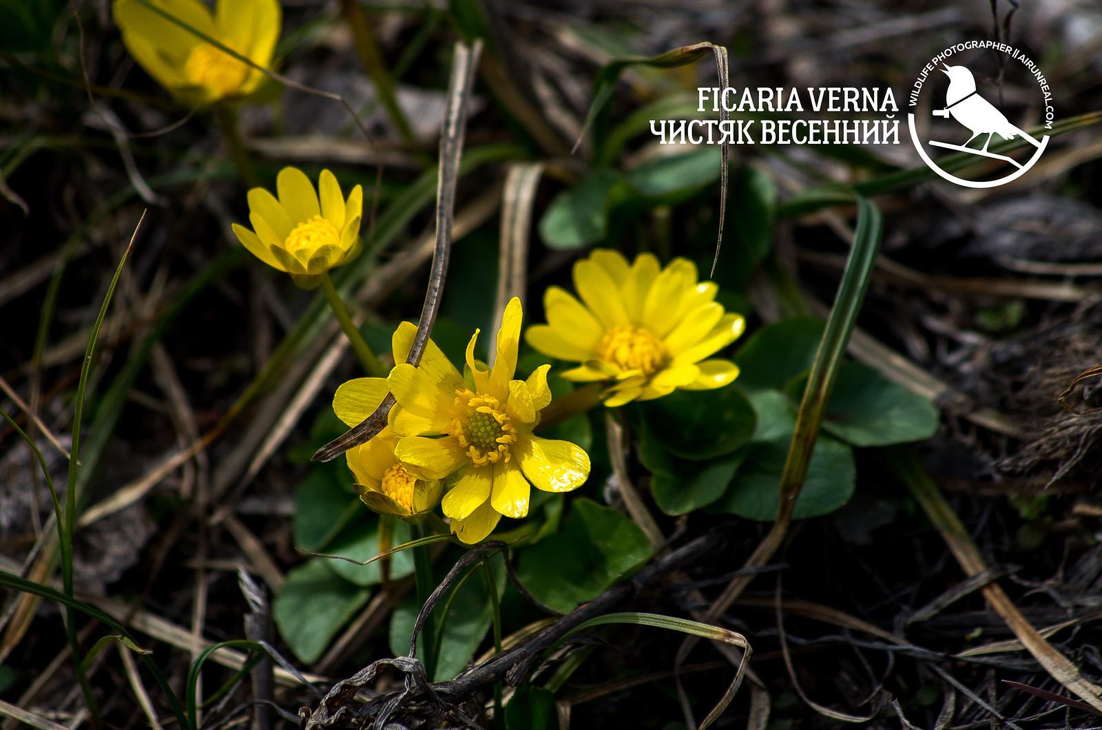 Ficaria verna & Gagea // 27032017upld