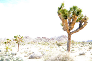 joshua tree national park | by funnelcloud rachel