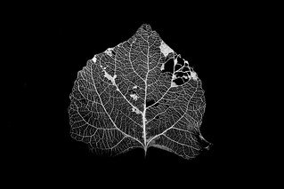 Decayed Aspen Leaf in B&W | by O.S. Fisher