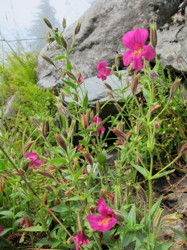 Pink Monkey Flower Mount Strachan Hike Cypress Provincia Flickr