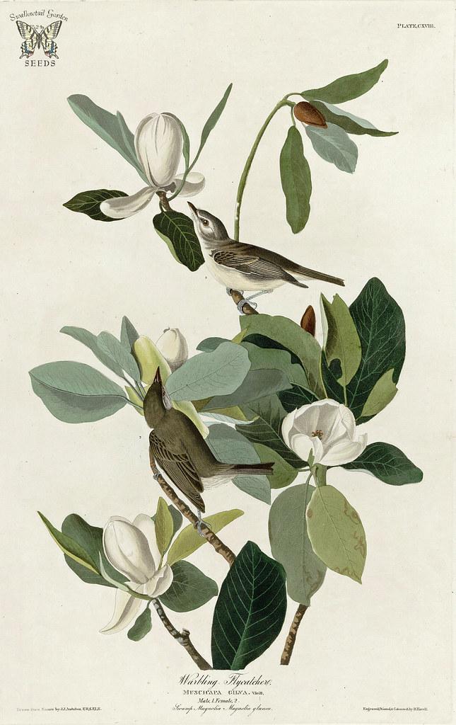 Birds Of America [double Elephant Sweet Bay Magnolia, Magnolia Virginiana  With Warbling Flycatcher. Birds Of America [double Elephant