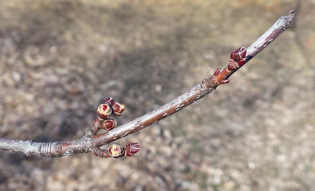 suspended silver maple branch with three sets of buds