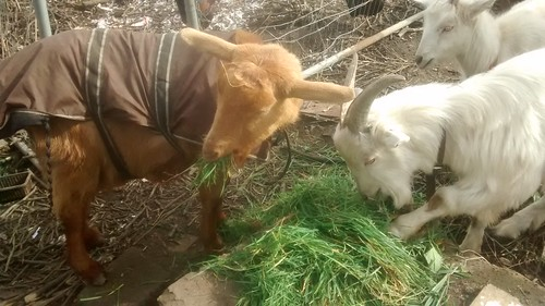 goats Mar 17 (14)