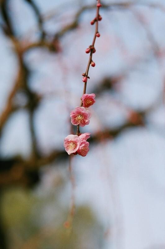 Ume blossom | 梅の花