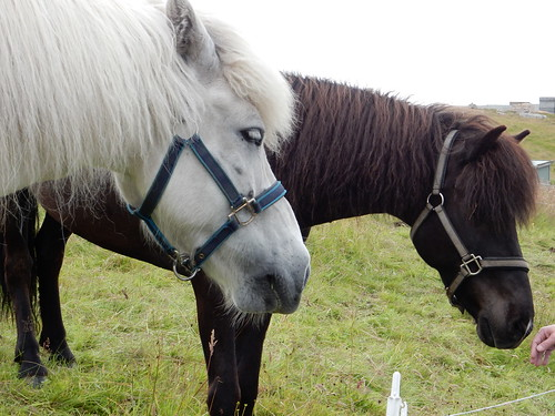 Faroe Islands Horses | by susanvg