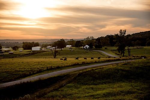 Cattle graze at sunset