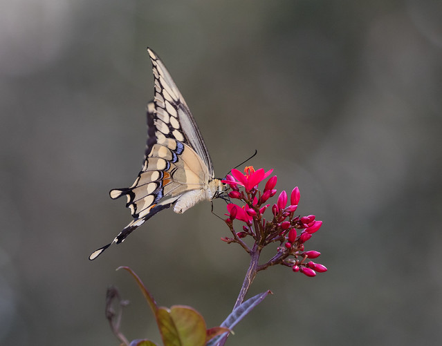 Giant Swallowtail Butterfly 099_164