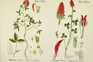 Meadow clover, and crimson clover. British flowering plants. By W. F. Kirby. (1906) Page 14 | by Swallowtail Garden Seeds
