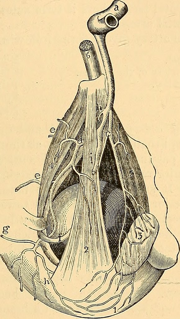 Image From Page 112 Of Anatomy Of The Arteries Of The Hum Flickr