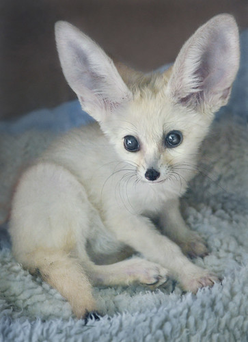 I M All Ears A Four Month Old Fennec Fox Is Being Hand