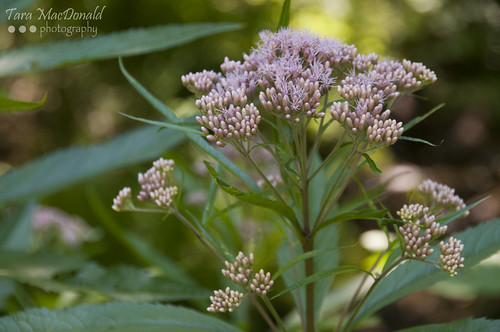 Joe Pye Weed (Eupatorium purpureum) | by Tara MacDonald - www.TheVillagePlate.com