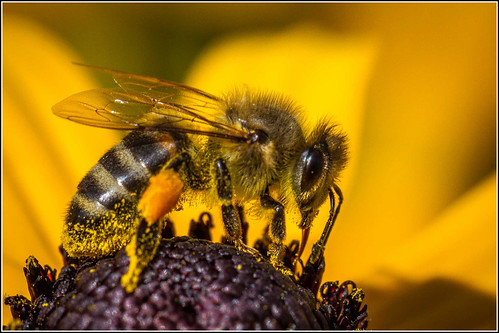 Honey Bee at work | by Smudge 9000