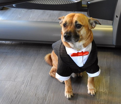 USA (Washington DC) Yogi, our best friend's handsome dog, with tuxedo suit welcomes us Fitness Together Clients Appreciation Party | by ustung