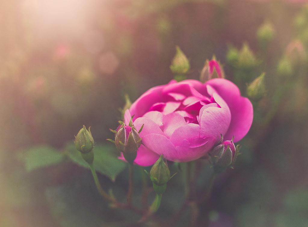 Una Rosa Para Otra Rosa Esta Rosa La Tenía Guardada Desd Flickr