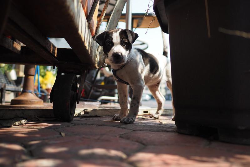 小乳牛三連拍|Puppy