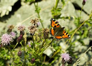 20150906-38_Butterfly - Tortoiseshell