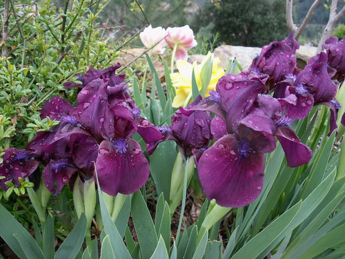 Iris 'Cherry Garden'