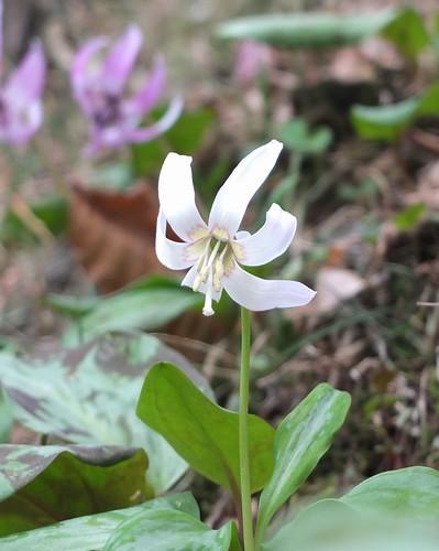 白花かたくり
