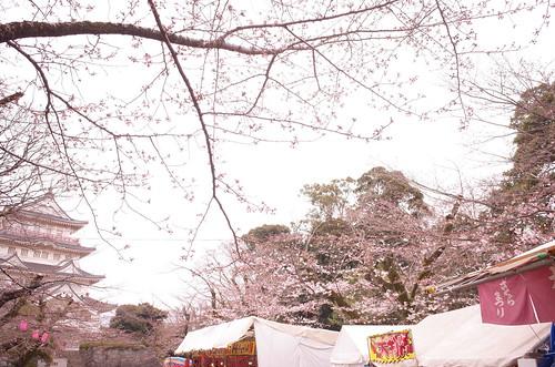 Chiba Inohanayama sakura blooming 03